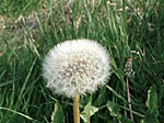 dandelions are a sign